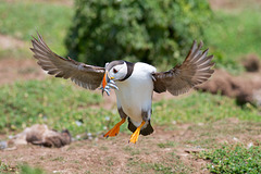 Puffin - landing with sand eels.
