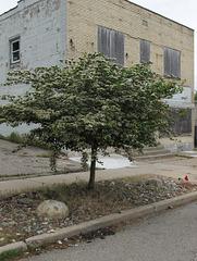 Lansing Mich street tree.