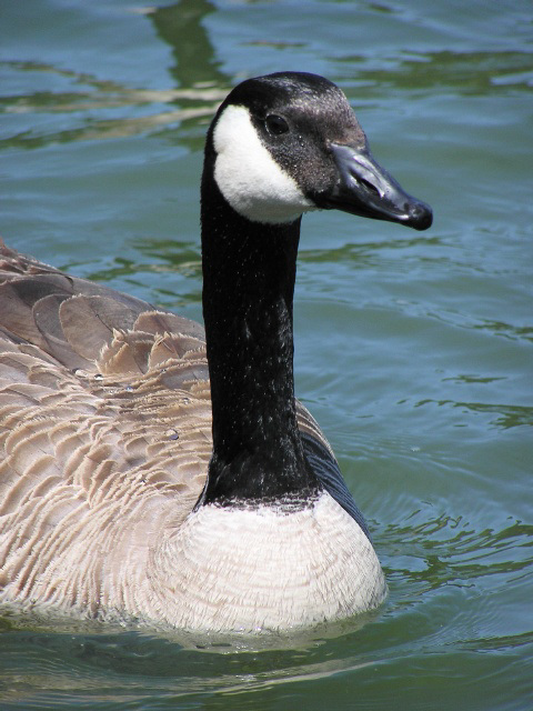 Canada Goose (p5291724)