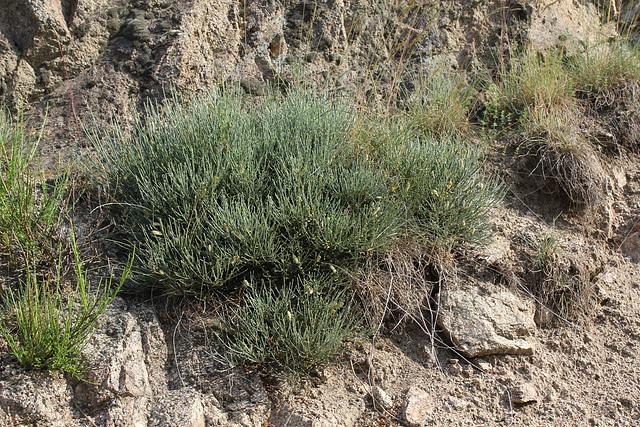 Cytisus oromediterraneus- Genêt purgatif (3)