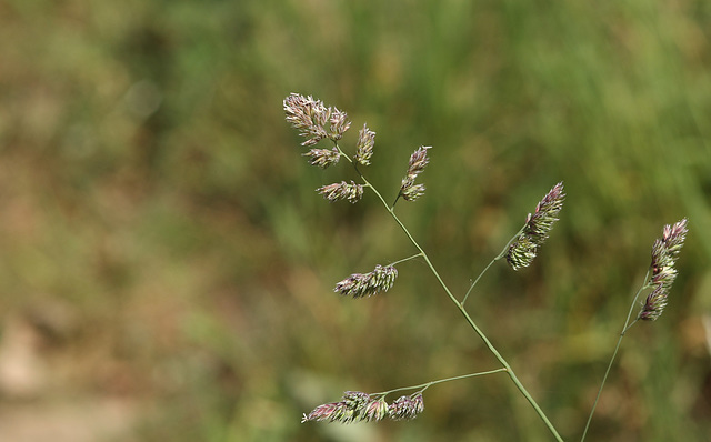 Cock's-foot grass (Dactylis glomerata)