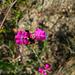Dianthus carthusianorum-Oeillet des Chartreux