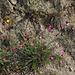 Dianthus carthusianorum-Oeillet des Chartreux (2)