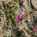Dianthus carthusianorum-Oeillet des Chartreux (3)
