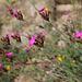 Dianthus carthusianorum-Oeillet des Chartreux (4)
