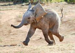 Happy young Elephant 01