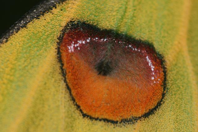 Madagascan moon moth (Argema mittrei) wing detail