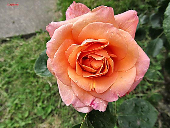 20 Margaret's rose