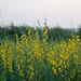 20070208-0216 Crotalaria juncea L.