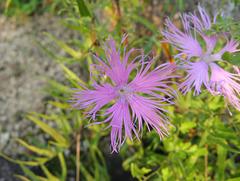 Pink flower Himeji
