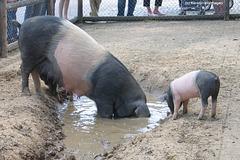 Schwäbisch-Hällische Schweine (Wilhelma)