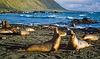 Macquarie Island 1968: Elephant seal pups