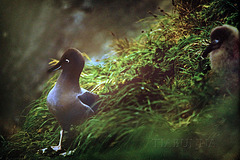 Macquarie Island 1968: Light-mantled Sooty Albatross and chick