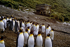 Macquarie Island 1968: Lusitania Bay hut