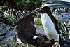 Macquarie Island 1968: An odd couple