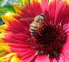 l'ape che rischia di sparire