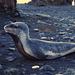 Macquarie Island 1968: Visiting Leopard Seal