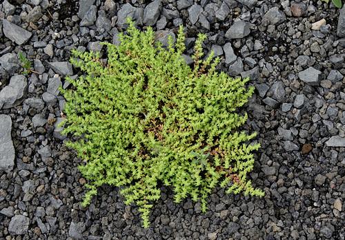 Herniaria hirsuta (2)