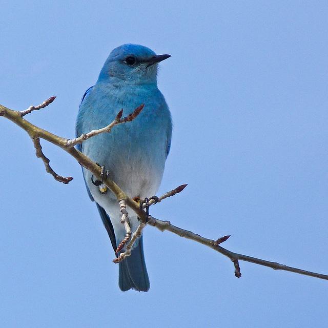 mountain bluebird / sialia currucoides