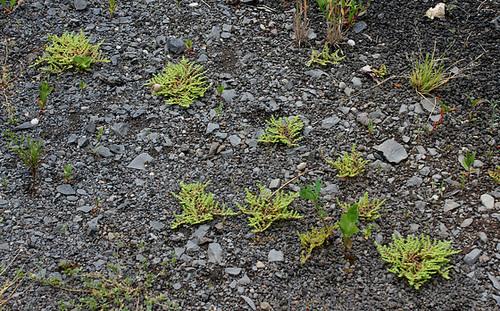 Herniaria hirsuta (3)