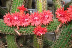 Kaktusblüte (Wilhelma)