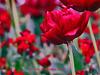 Tulips Explore 003