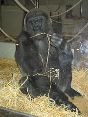 Gorilladame Mimi 2007 (Wilhelma)