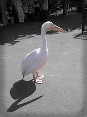 Pelikane auf Abwegen V (Wilhelma 2007)