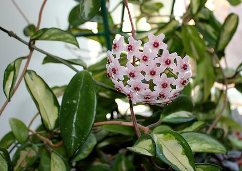 Hoya carnosa (2)