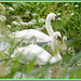 Two Swans and their Signets.