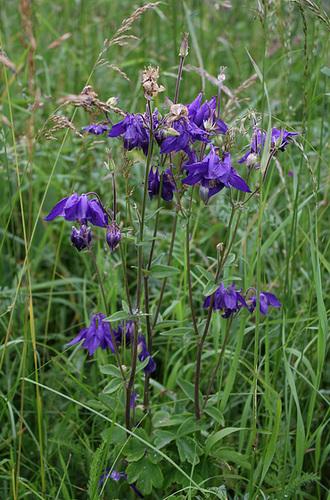 Aquilegia vulgaris (2)