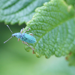 Small Turquoise Beetle 02 Green Nettle Weevil Phyllobius urticae