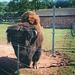 This bison/buffalo has a very bushy coat