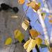 Birch (p1082941)