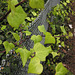 Ivy (p1143184)