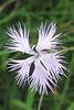 Oeillet de Montpellier (Dianthus monspessulanus) (Caryophyllacées) (Lozère, région Languedoc-Roussillon, France)