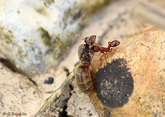Ant with Dead Queen?
