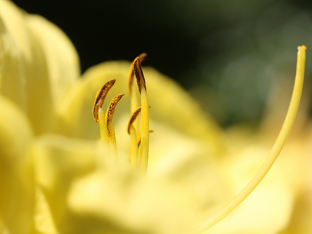 Detail of a Citron Daylily