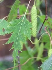 Weeping Birch (p4230342)