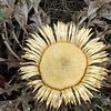 Cardabelle = chardousse = carline à feuille d'acanthe (Carlina acanthifolia, Astéracées) (Lozère, causse Méjean, région Languedoc-Roussillon, France)