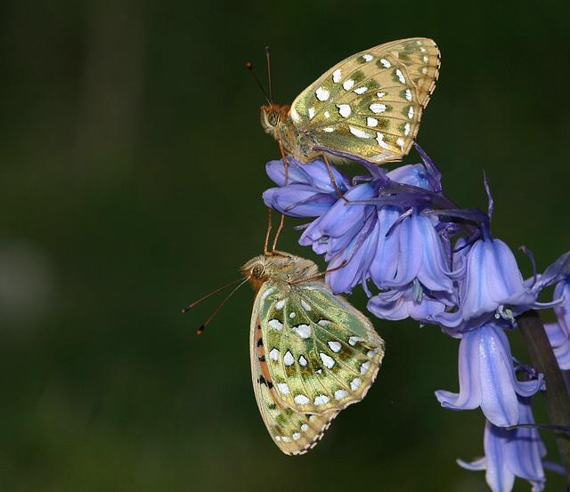 Dark Green Fritillary (Argynnis aglaja) butterflies