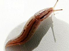 Slug on wall