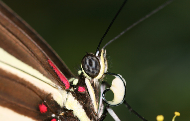 Zebra Heliconian (Heliconius charitonius) butterfly