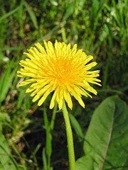 Dandelion (p5281568)
