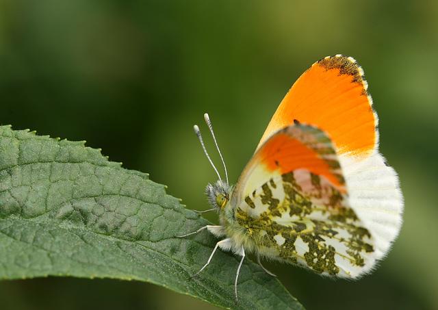 Orange Tip (Anthocharis cardamines) butterfly