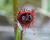 Full House (Drosera auriculata)