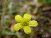 Ranunculus lappaceus (Australian buttercup)