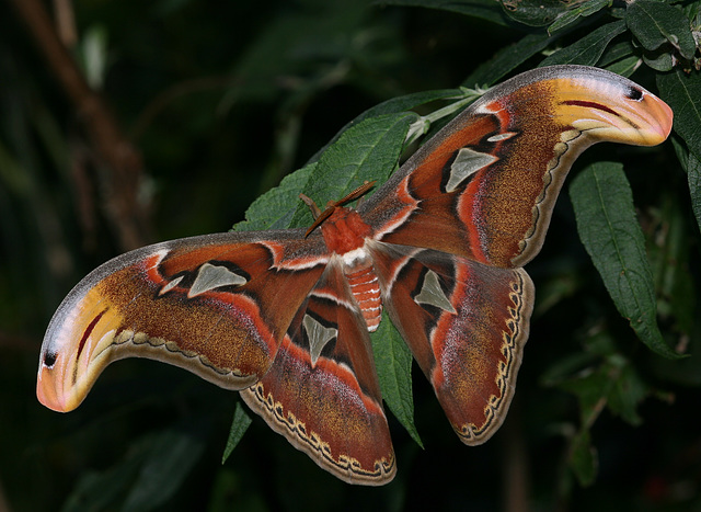 Giant Atlas moth (Attacus atlas)