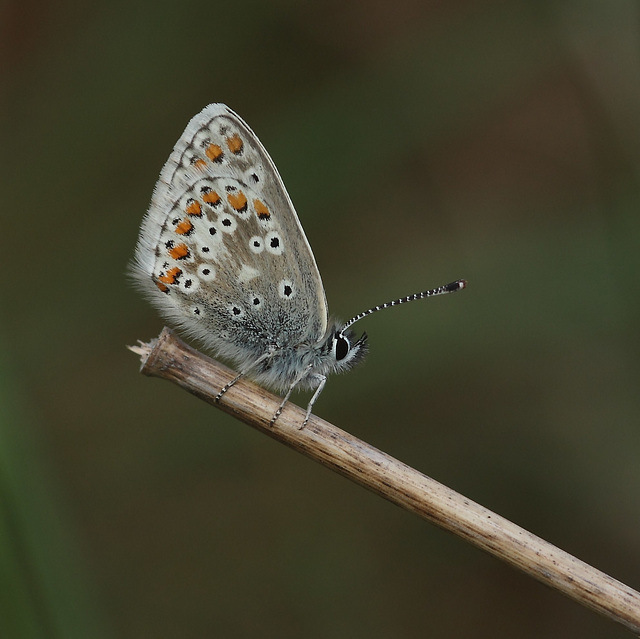 Brown Argus (Aricia agestis) butterfly