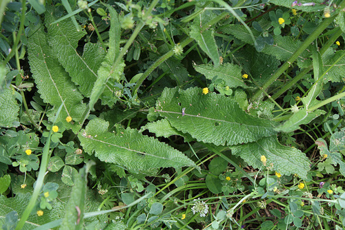 Salvia pratensis (3)